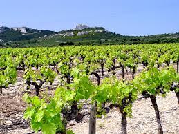 le débat se poursuit greffe de la vitis vinifera vs franc de pied